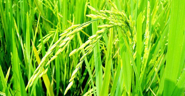Goodyear reciclará arroz para fabricar neumáticos más eficientes